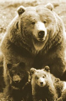 yellowstone grizzlies are thriving 9