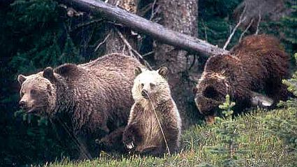 yellowstone grizzlies 45